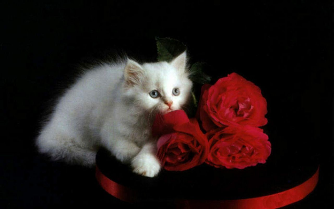 Kittens Wallpaper White Kitten And Red Roses White Kittens White Cats Kitten Wallpaper