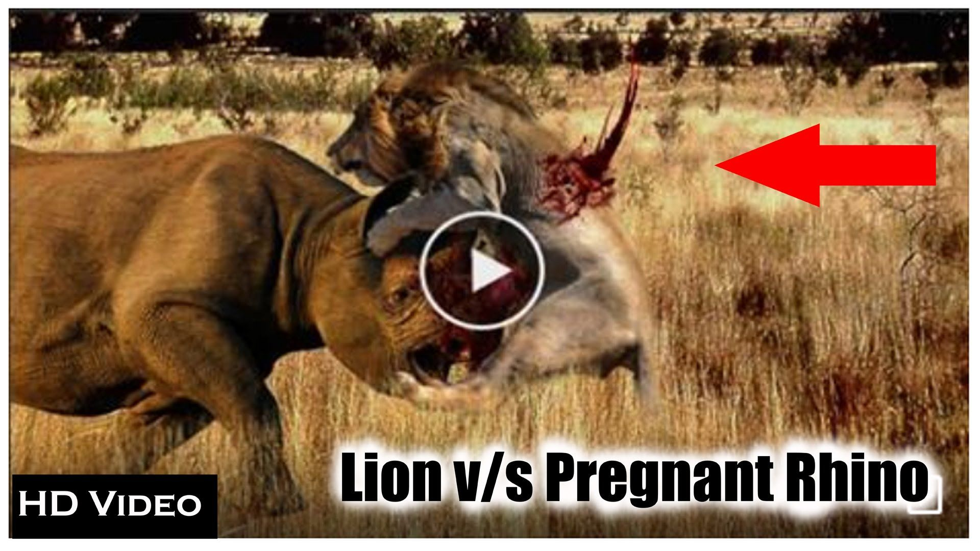 A hungry lion attack momment with pregnant rhino-HD-Mp4