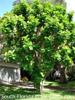 Fiddle Leaf Fig Fiddle Leaf Fig Fiddle Leaf Fig Tree Fiddle Leaf