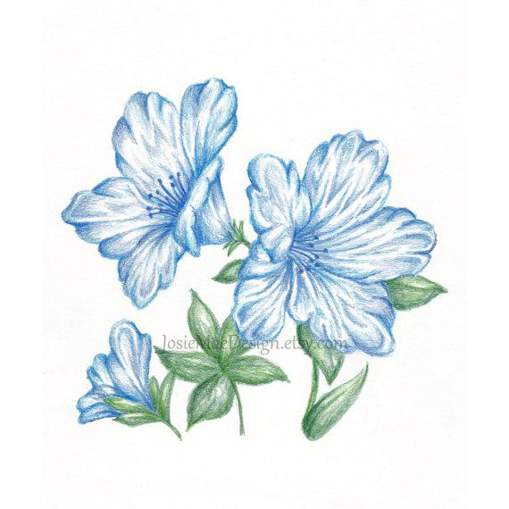 Items Similar To Flower Drawing Print Blue Azalea Botanical Art 8x10 On Etsy Flower Drawing Drawings Botanical Art