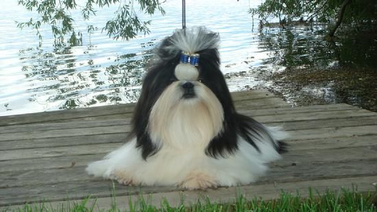 Long Hair Black And White Shih Tzu Shih Tzu Dog Shih Tzus Shih Tzu