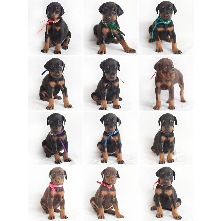 Puppy Timeline Prima Dobermans Doberman Doberman Pinscher