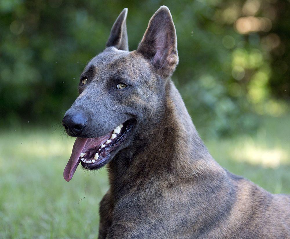 Blue Dutch Shepherd Dutch Shepherd Dog Malinois Puppies Malinois Dog