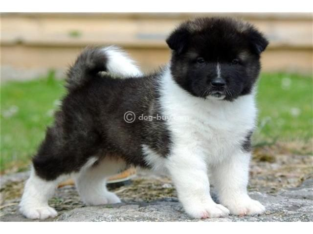 Akita Puppies For Sale Agra Dog Buy Sale Akita Puppies
