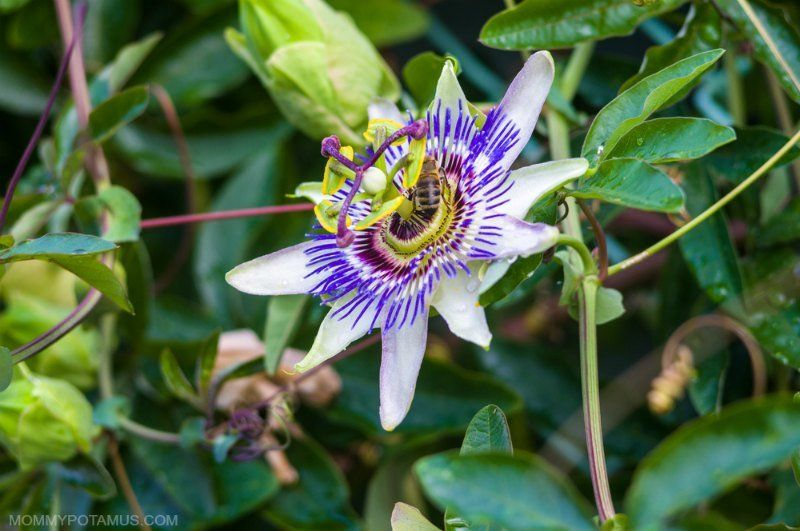 5 Benefits Of Passionflower How To Use It Passion Flower Benefits Passion Flower Tea Passion Flower