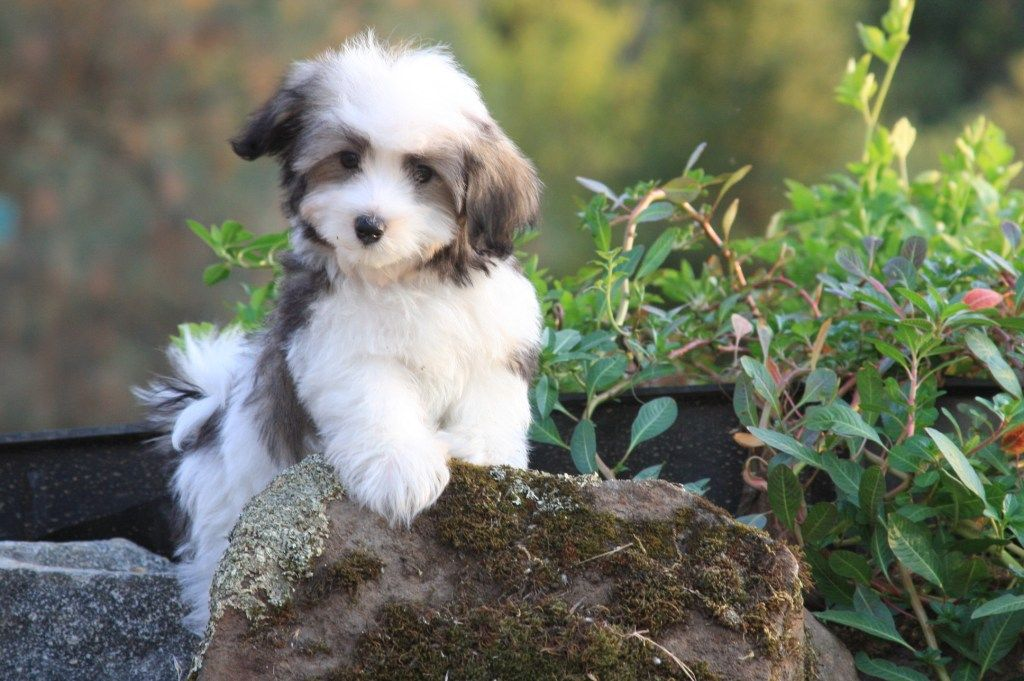 Havanese Puppies For Sale Havanese Puppies For Sale Pictures
