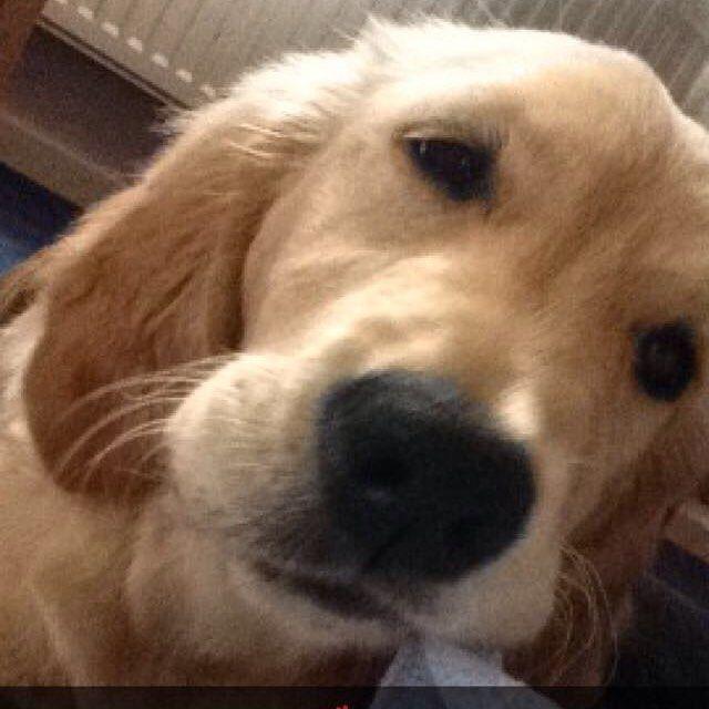 Cuddles! #dog #dogsofinstagram #golden #gloriousgoldens #goldenlife #goldensofinstagram #goldenlover #goldenpuppy #goldenretriever #goldenretrieversofinstagram #goldenretrieverlovers #retriever #retrieversofinstagram #retrieverlover #puppy #goldenpuppy #retrieverpuppy #goldenretrieverpuppy #girlsbestfriend #bestwoof #lifeofapuppy #lifeofagolden #lifeofaretriever #puppylife #puppylove #ilovedogs #welove_goldenretrievers #ilove_goldenretrievers #animaladict #animalsofinstagram #puppies by…