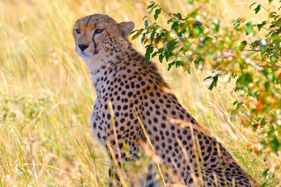 Cheetah ( Africa Masi Mara ) by Is Ruiz on 500px
