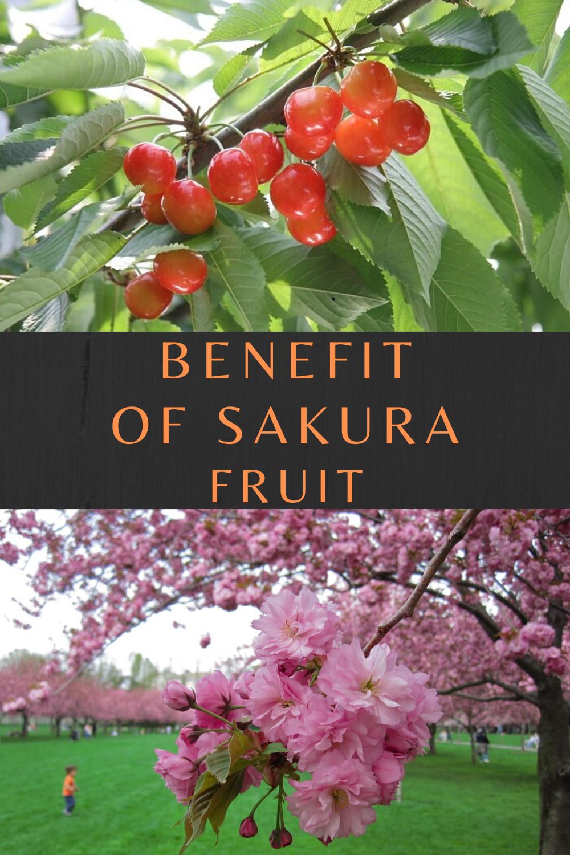 Sakura Flower Cherry Blossoms Benefit Fruit Benefits Healthy Fruits All Fruits