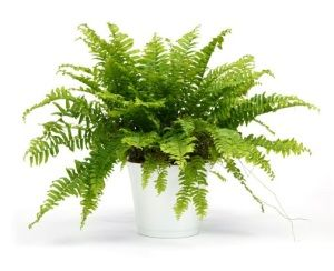 boston fern a bit fussy if you dont get the humidity right