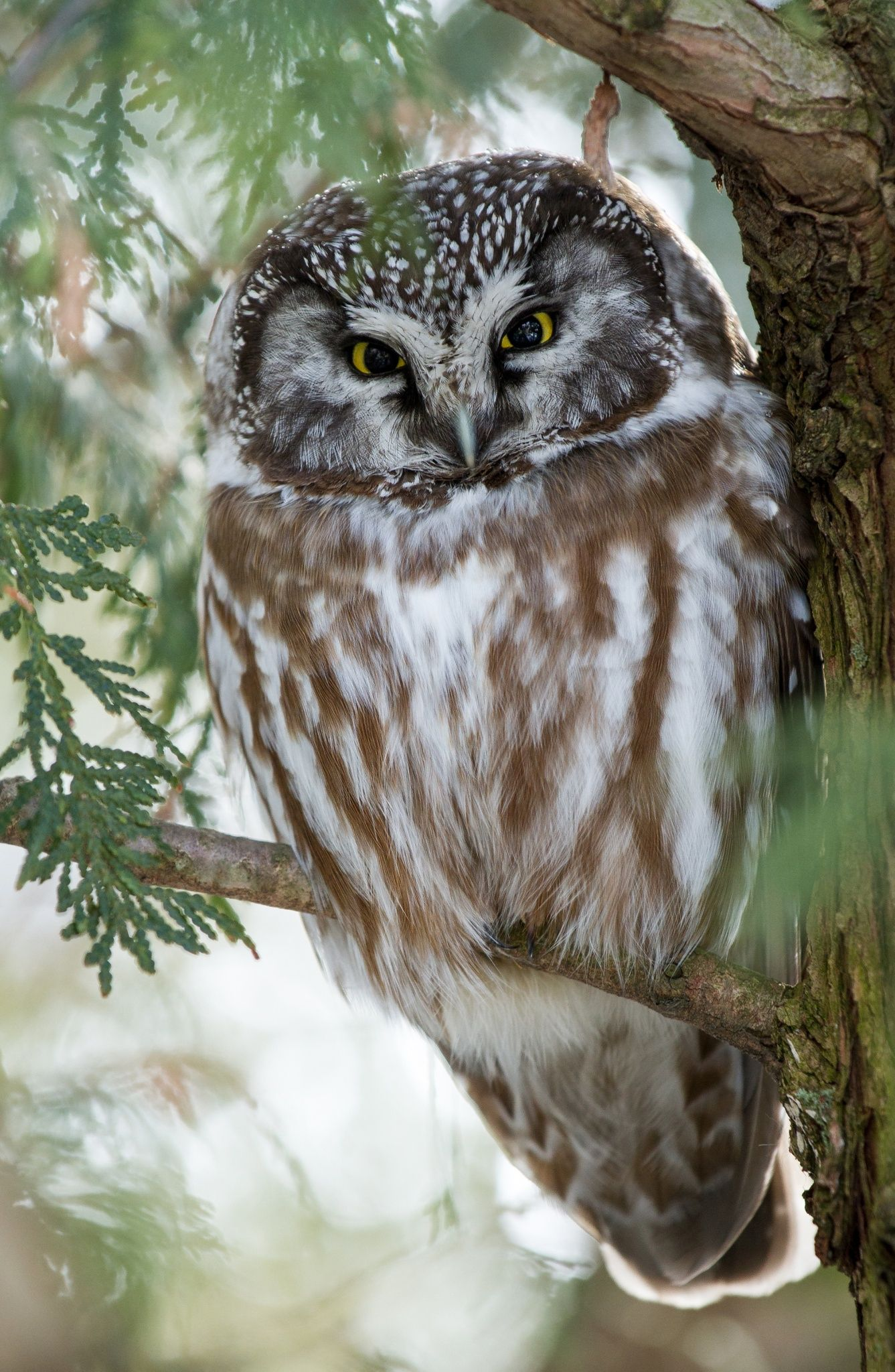 A boreal owl roosts for the day in suburban ottawa owls