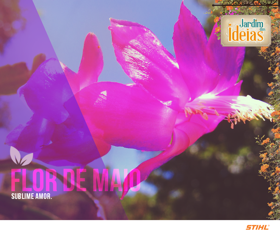 Conhecida também como Cacto do Natal, Cacto da Pascoa, Flor de Seda ou Schlumbergera truncata. Apesar do nome, a floração da planta pode acontecer já em abril.