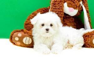 Phoenix Craigslist Teddy Bear Teddy Phoenix