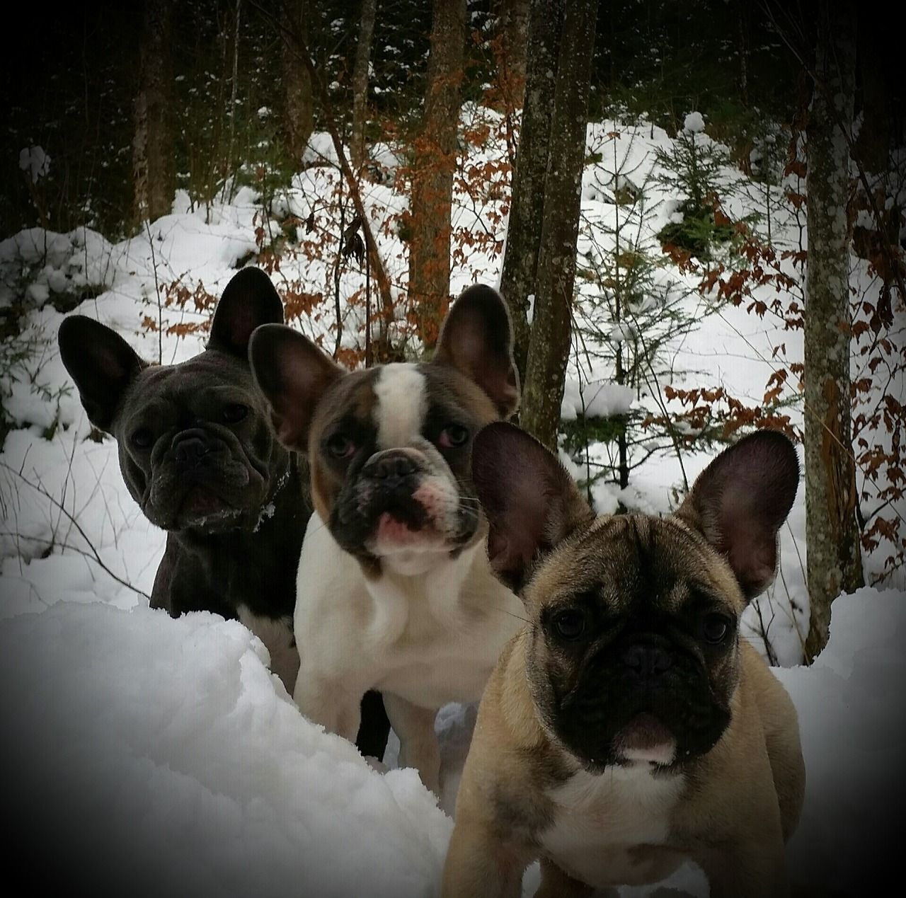 3 French Bulldogs, via the dailyfrenchie.