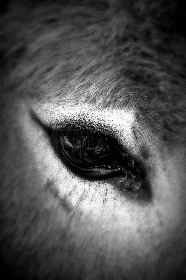 Donkey eye   ...........click here to find out more     http://googydog.com