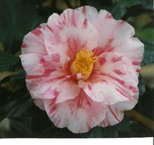 Camellia japonica 'Tricolor Fiorentina' (Italy, 1846)