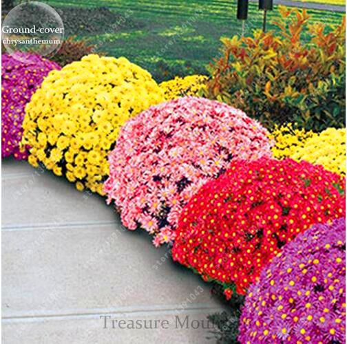 how to get chrysanthemum seeds from flowers
