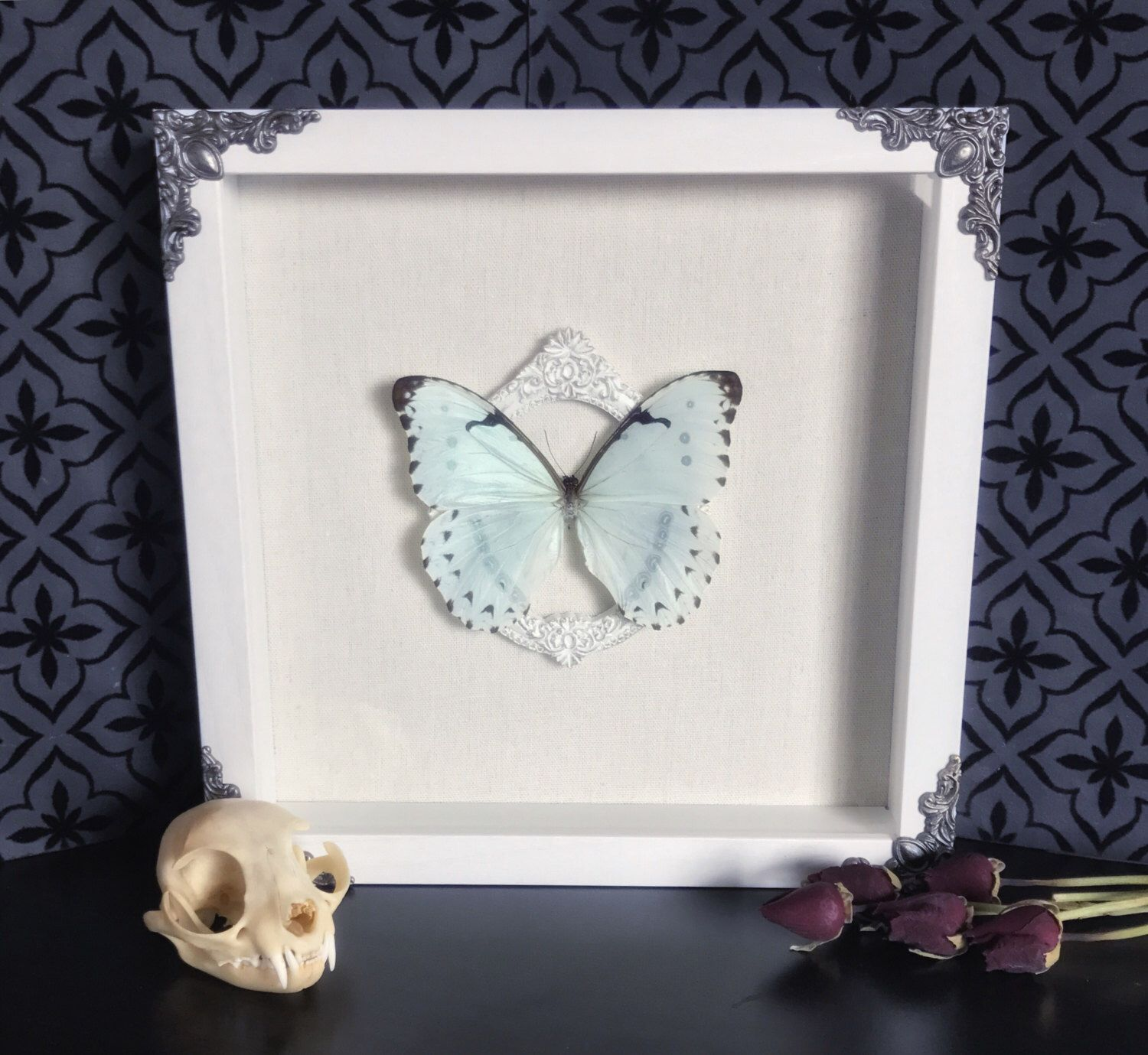 Victorian White Morpho Butterfly Shadow Box, Real Butterfly ...
