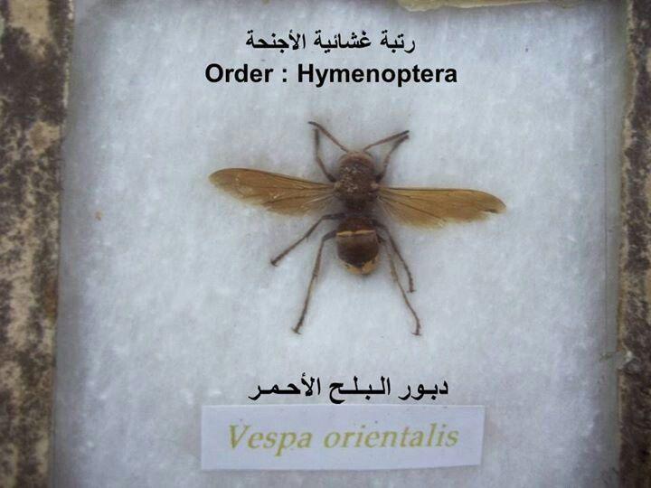 دبور البلح الاحمر Insects Book Cover Bee