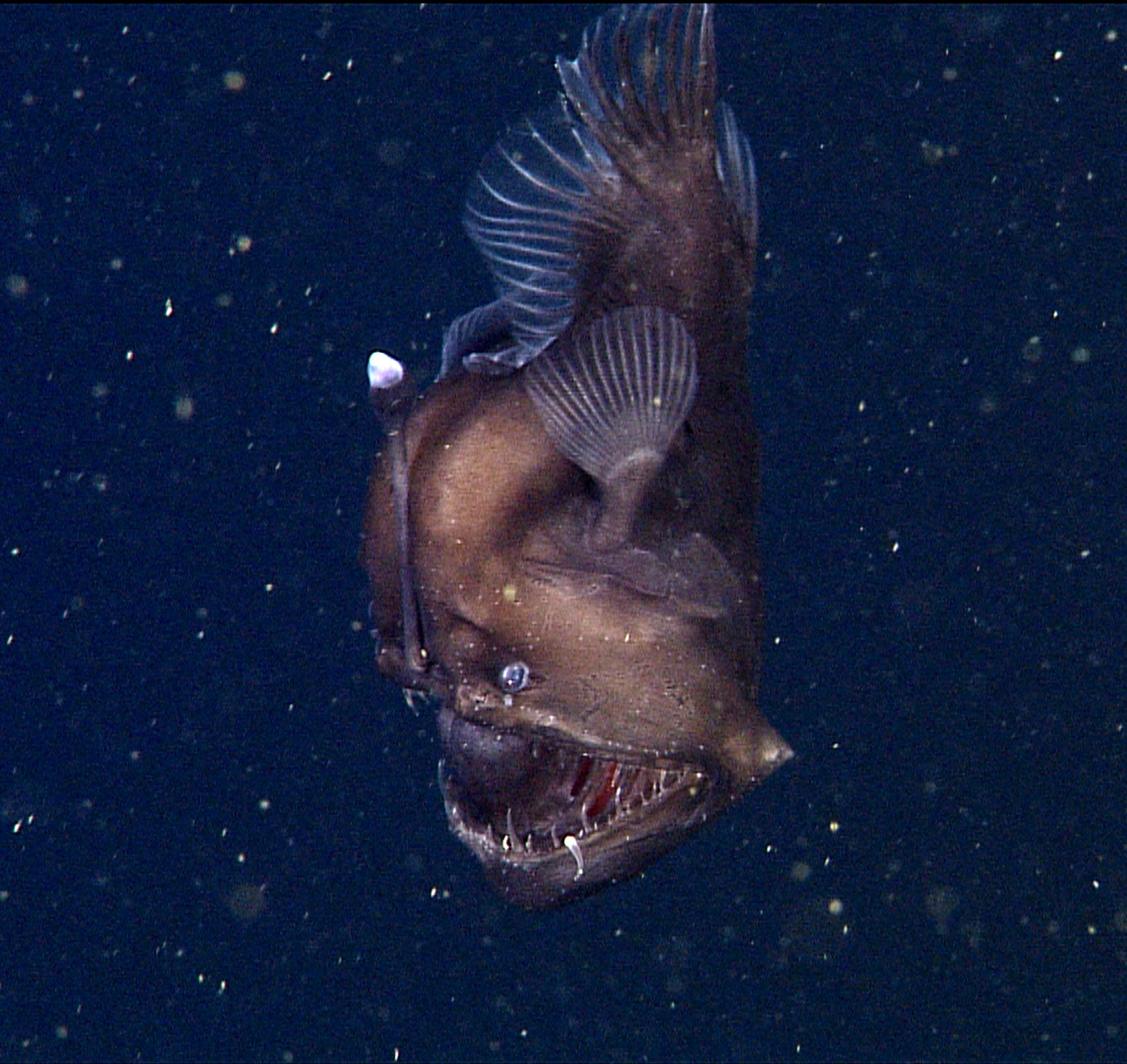 Rare fish in the deep sea
