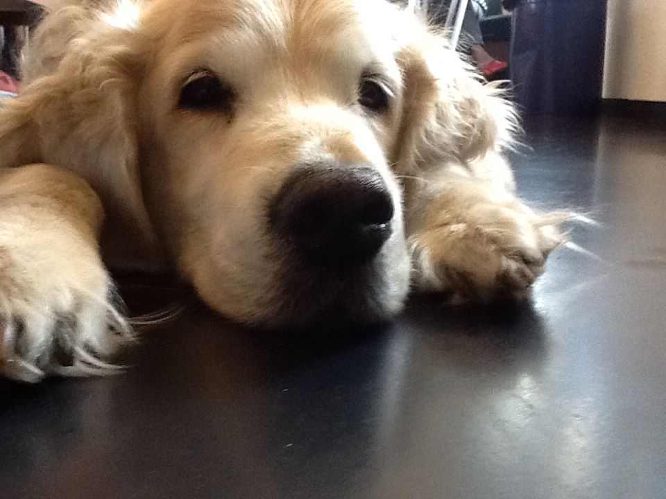 Boeke - My best friend - Golden Retriever