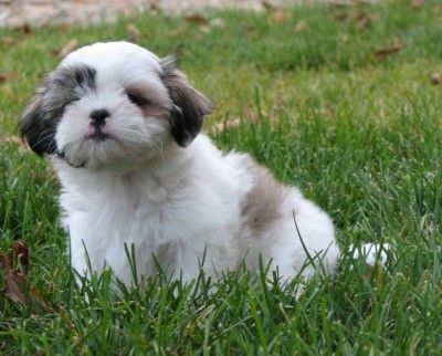 Pin by Kate Newton on Maltese shihtzu grooming styles