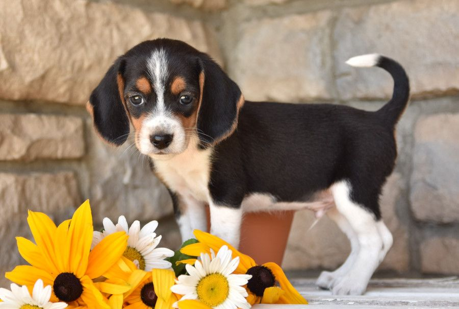 Meet Ron A Cute Beagle Puppy For Sale For 350 Akc Field Show