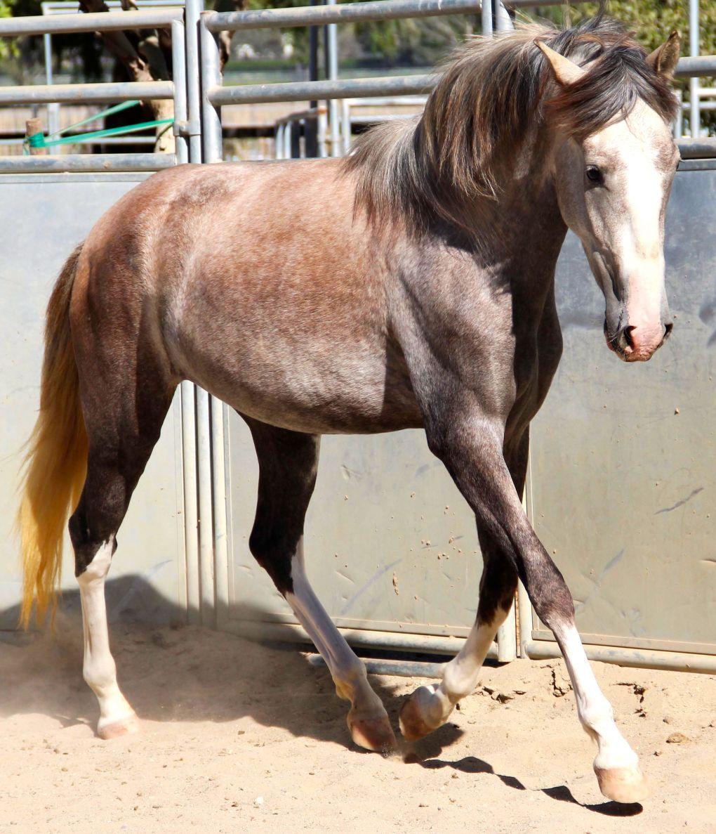 Costa Rican Paso Treasure Of Costa Rica Horses For Sale Epona Exchange Alborada Beautiful Horses Horses Horses For Sale Horse Classifieds