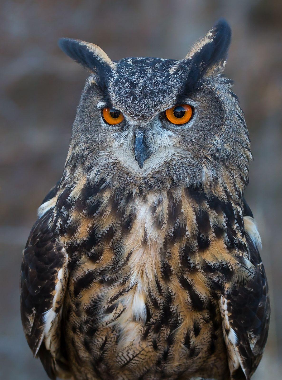 Eurasian eagle owl | OWLS that hoot! | Eurasian eagle owl ...