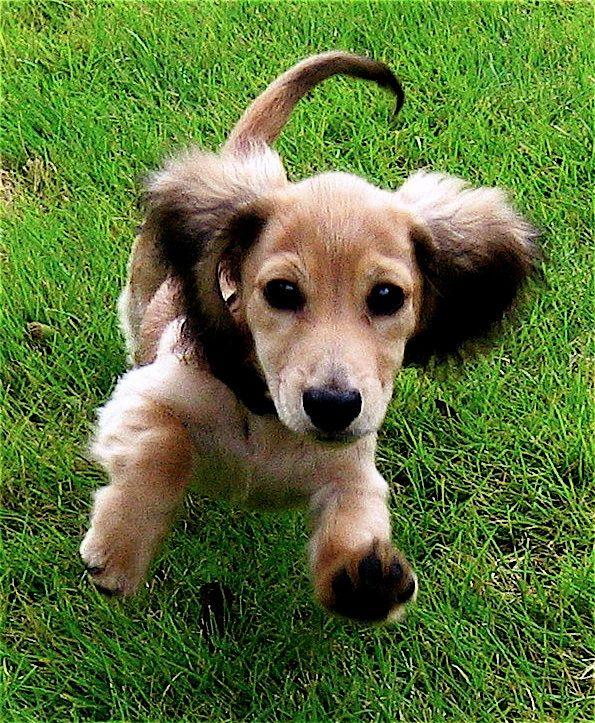 Do english cream dachshund shed