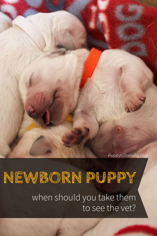 When Do You Take A Newborn Puppy To The Vet Newborn Puppies