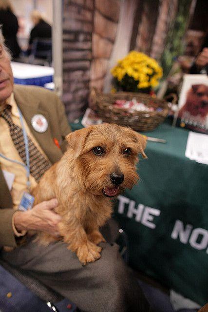 Norfolk Terrier Norfolk Terrier Terrier Norwich Terrier