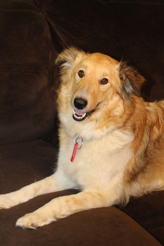 Collie dog for Adoption in Eden Prairie, MN. ADN444284 on