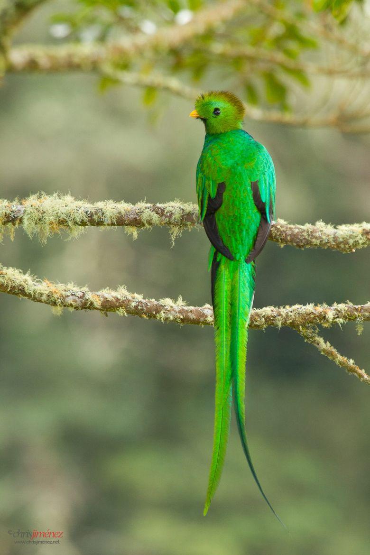 Resplendent Quetzal (Pharomachrus mocinno) / por Chris Jimenez en 500px