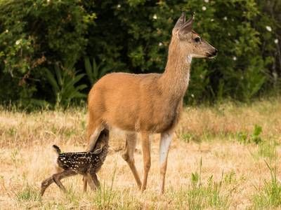 Photo Dear Deer Is Just Hours Old