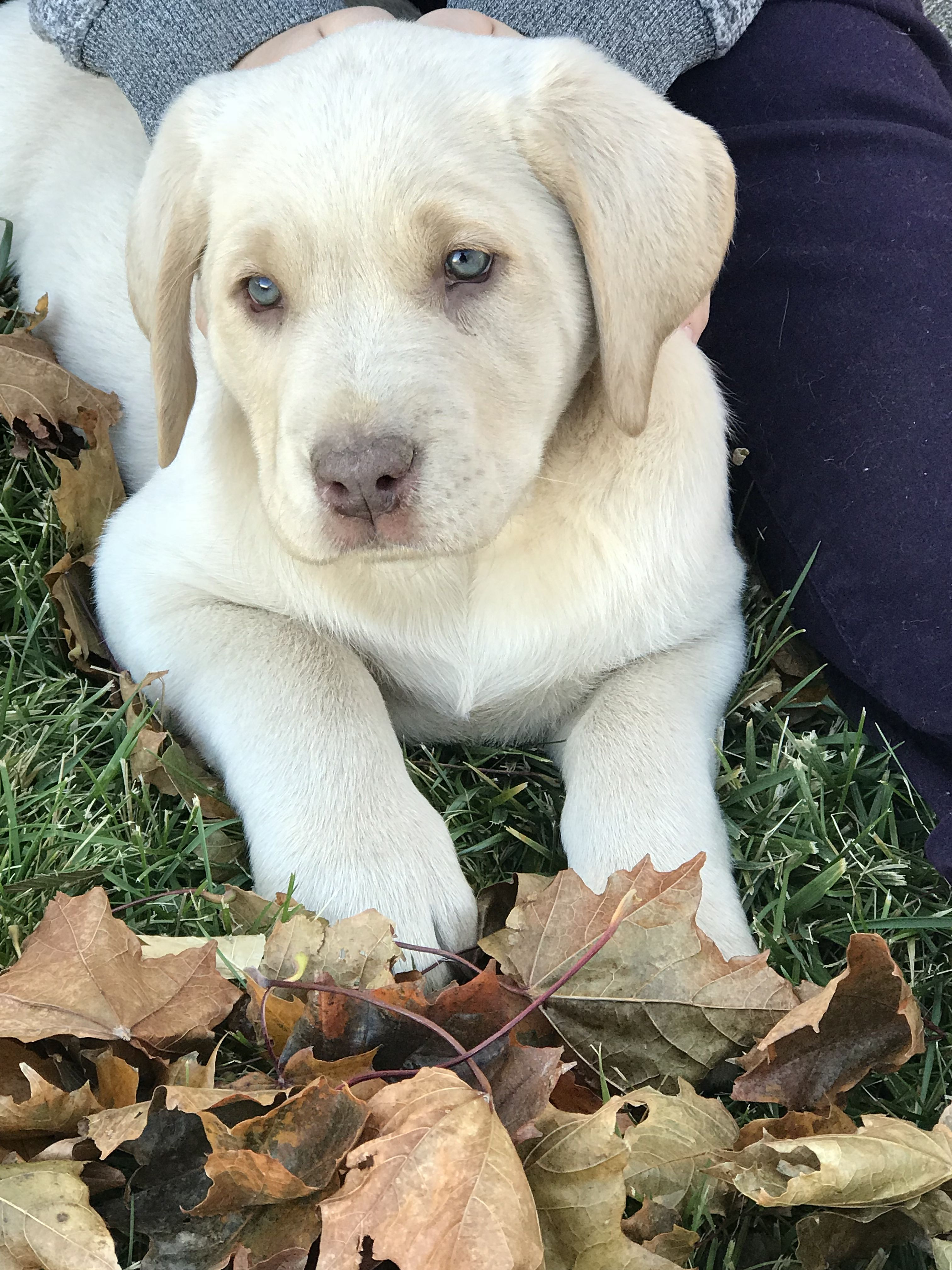 Shiloh Our Beautiful Champagne Lab Yellow Lab Puppies Lab Puppies Dogs And Puppies