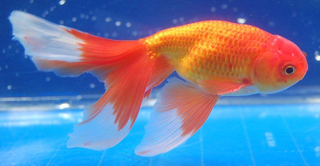 Shukin Goldfish Goldfish Pond Fish Pet