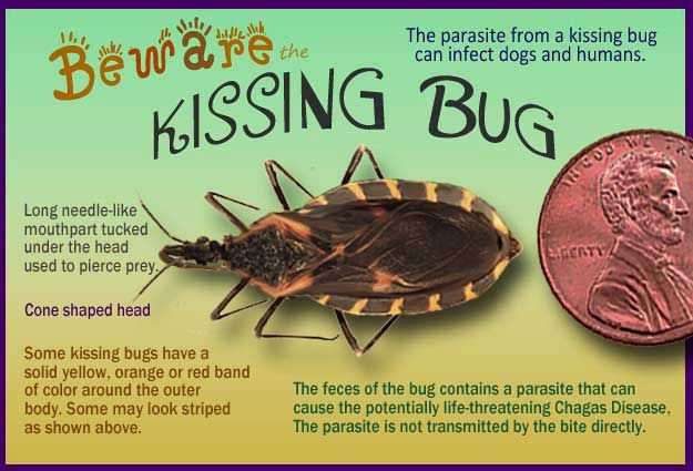 Kissing Bugs And Chagas Disease 25 Facts That Will Save Your