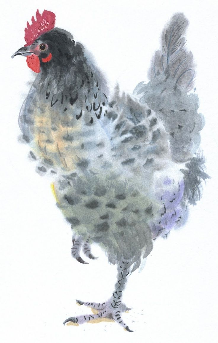 Gray Chicken Watercolor Meyerhatchery Civciv Tavuk Horoz