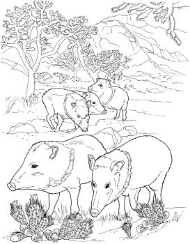 Javelina Peccaries Wild Pigs Animal Coloring Pages Coloring Pages