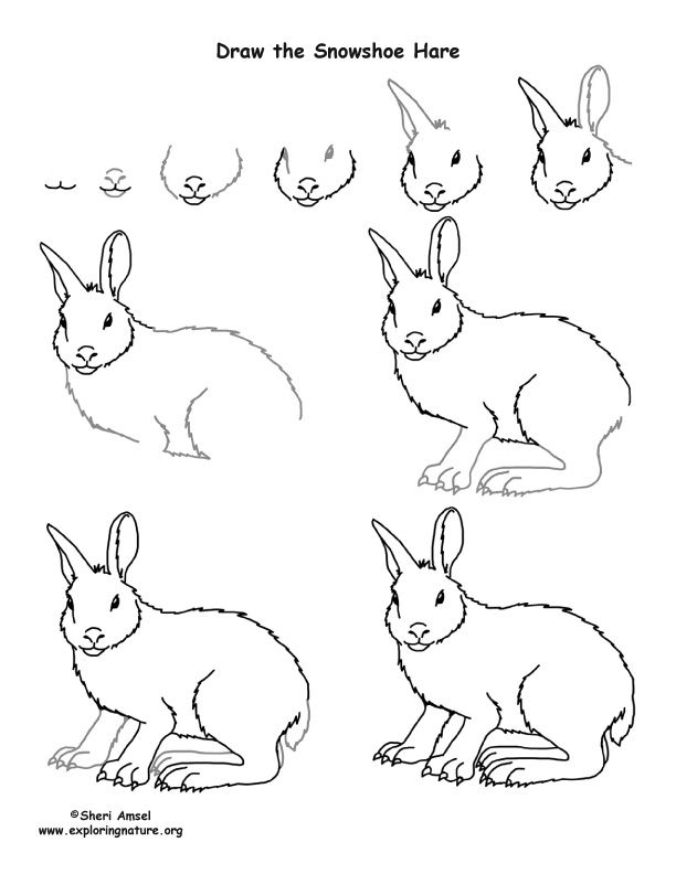 How To Draw A Snowshoe Hare Hare Drawing Snowshoe Hare Drawings