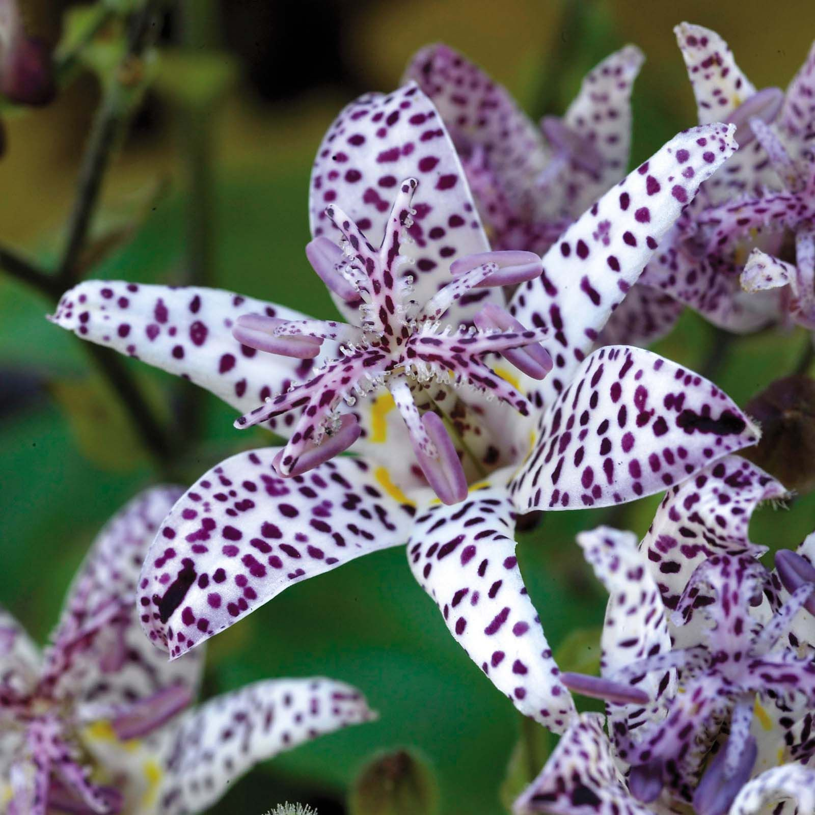 5 Unusual Toad Lily~empress~shade Plants Purple Spotted Perennial Flowers  Rare