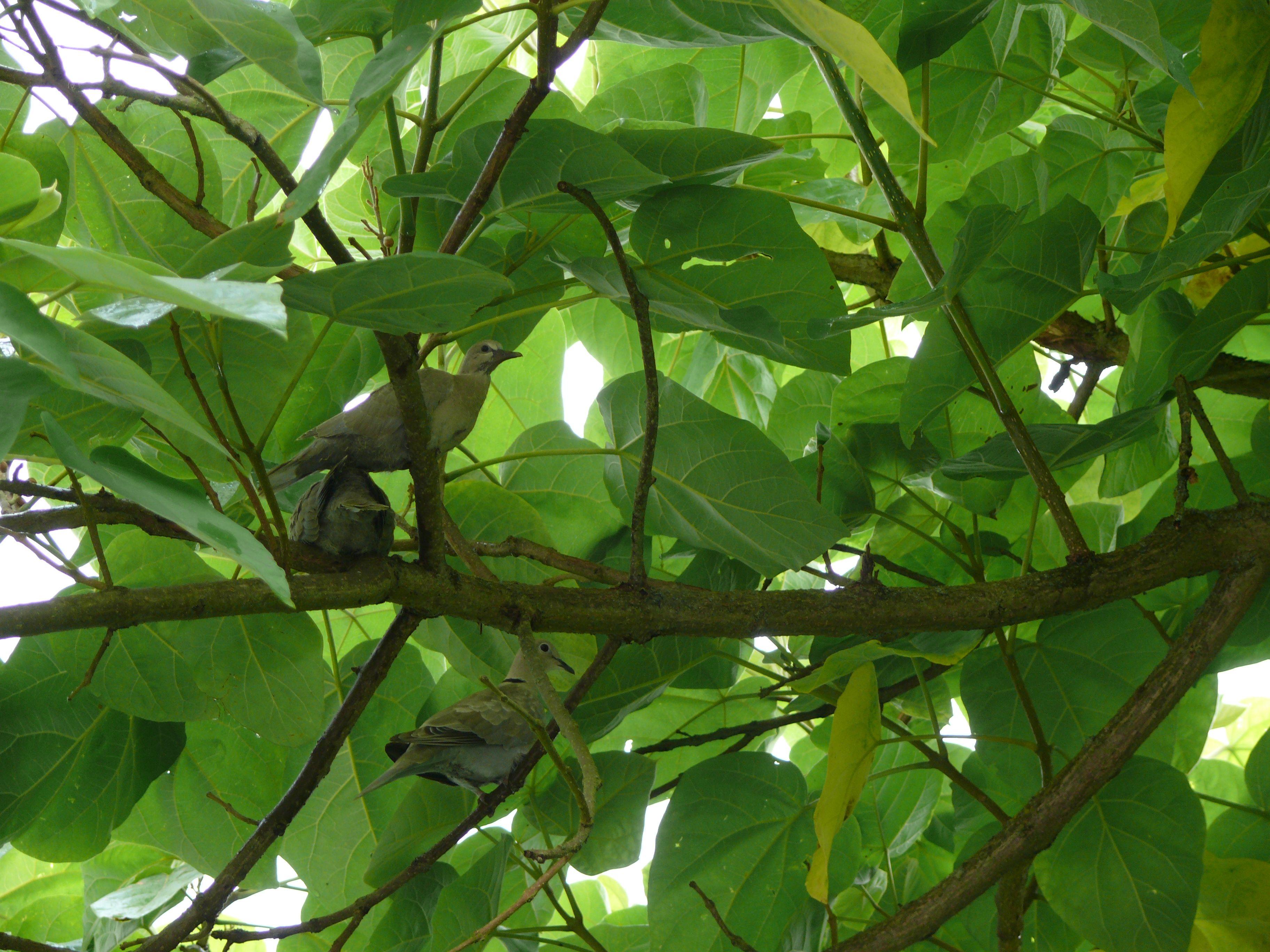 ouder met jonge duiven