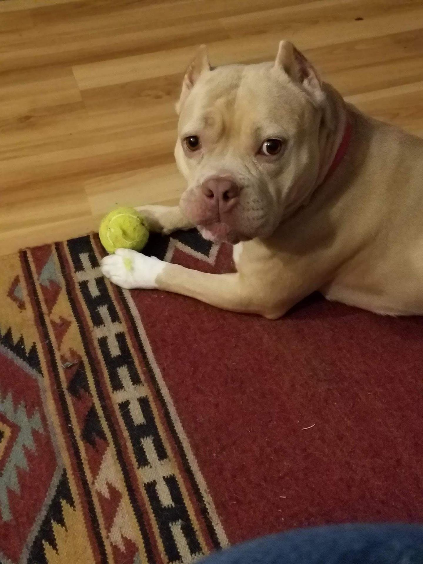 Adopt Gemma On Dogs Animals And Pets Pitbull Terrier