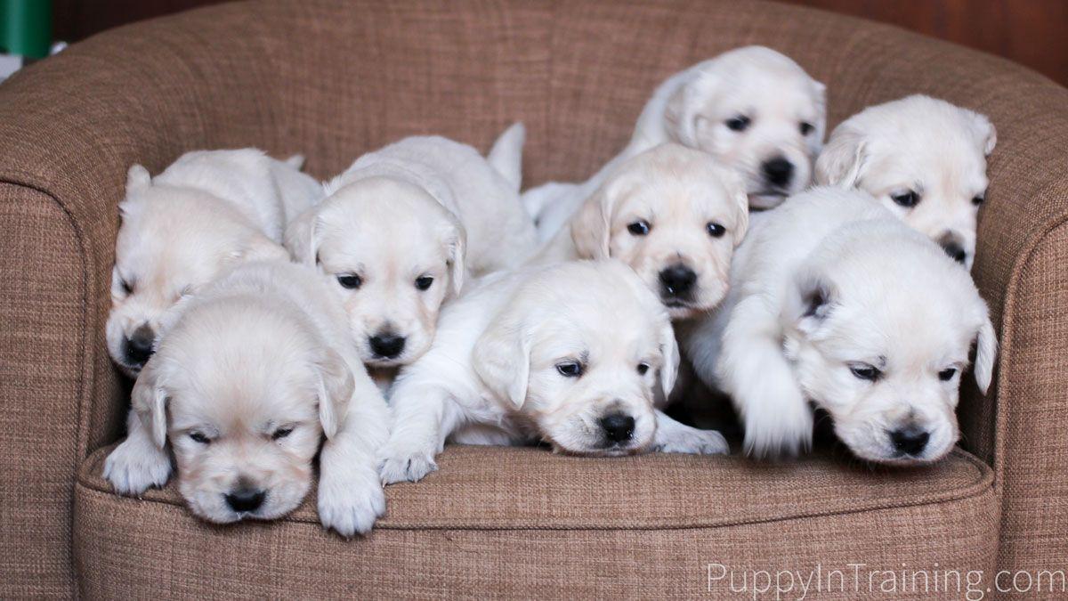 English Cream Golden Retriever Puppies Week 4 Dogs Golden