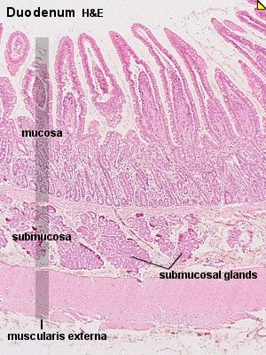 Alimentary canal layers in duodenum. | nursing | Pinterest ...