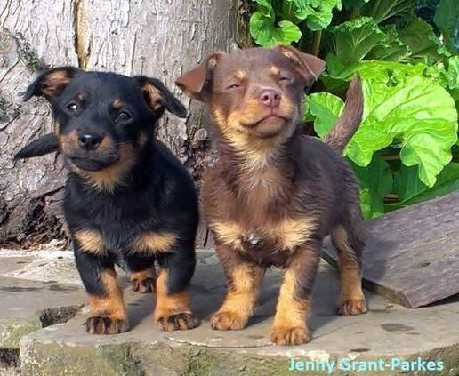Lancashire Heeler Puppies Due Early May Lancashire Heeler