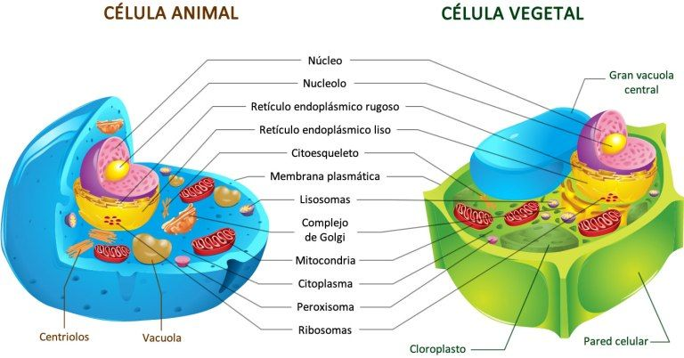 Celula Animal Vs Celula Vegetal Celulas Eucariotas Animal Célula Animal Célula Vegetal
