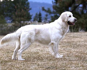 English Cream Golden Retriever Female Puppy Puppies Golden