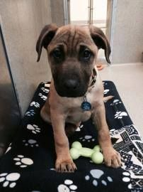 Everyone Meet Moose This Adorable Mastiff Shepherd Puppy Is Available For Adoption At Animal Welfare Lea Animal Welfare League Shepherd Puppies Animal Rescue